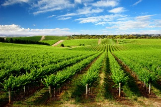 Vineyards, Clare Valley